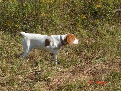 Maney's First Real Hunt - American Brittany Hunting Dog Pictures