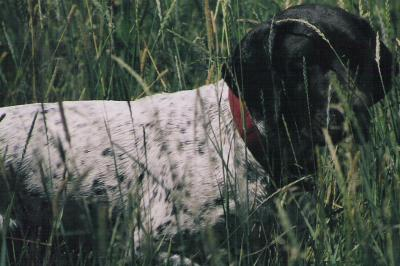 Another Successful NAVHDA Test - German Shorthaired Pointer Hunting Dog Pictures