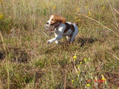 Reb's Turbo Tinker Toy - American Brittany Hunting Dog Pictures