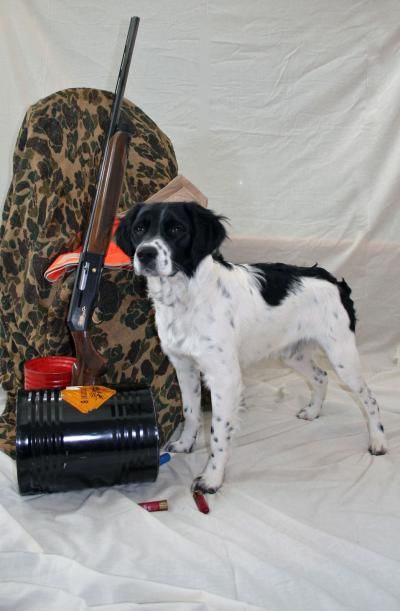 Maximilian (Max) - French Brittany Spaniel Hunting Dog Pictures