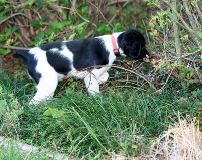 Dixie at 3 months - American Brittany Hunting Dog Pictures