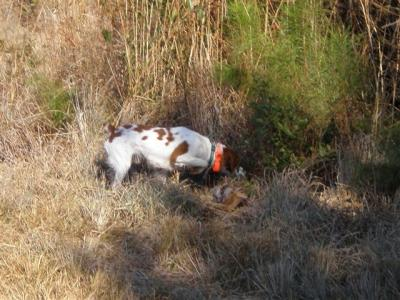 Get The Big Head - American Brittany Hunting Dog Pictures