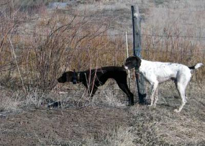 Abby on Point - Biff Backing - German Shorthaired Pointer Hunting Dog Pictures