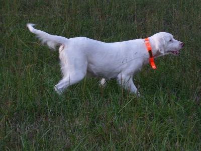 the old girl still has heart - English Setter Hunting Dog Pictures