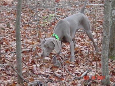 Luna's first point - Weimaraner Hunting Dog Pictures
