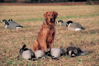 Young Gun - Golden Retriever Hunting Dog Pictures