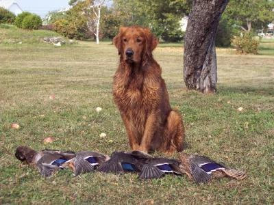 Duck hunt - Golden Retriever Hunting Dog Pictures