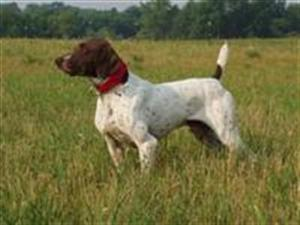 Field  Champion - German Shorthaired Pointer Hunting Dog Pictures