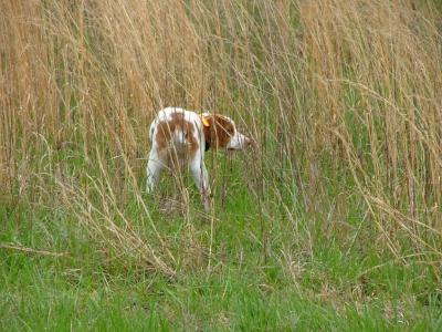 Spin Top Oliver Twist - American Brittany Hunting Dog Pictures