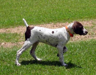 Coach On Point - German Shorthaired Pointer Hunting Dog Pictures