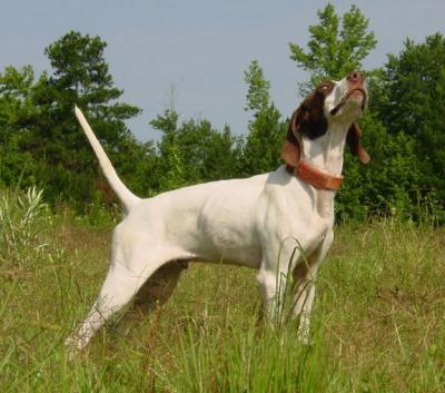 Our future Champ - English Pointer Hunting Dog Pictures