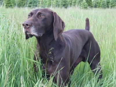 NAVHDA Versatile Champion - German Shorthaired Pointer Hunting Dog Pictures