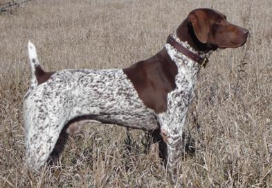 NSTRA CH. Premier's Fancy Trail Blazer MH - German Shorthaired Pointer Hunting Dog Pictures