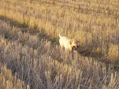 Dreams do come true - Labrador Retriever Hunting Dog Pictures