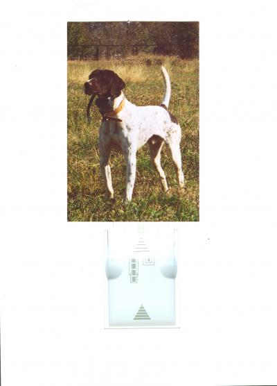 FC Windjammer's Bustin Out - German Shorthaired Pointer Hunting Dog Pictures