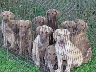 ANOTHER PICTURE OF ALL TEN PUPS.