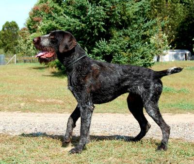 Father is a great hunting dog imported direct from Germany. He comes from some of the top bloodlines throughout Europe.