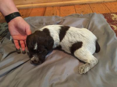 Gerling Puppy Left (Picked)
