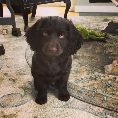 Born January 9, 2018 These Boykin Spaniel Puppies are for sale and ready to go home now! 