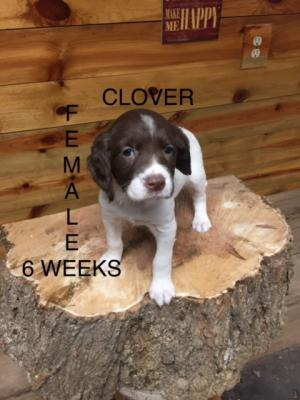 CLOVER-FEMALE 6 WEEKS OLD