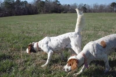 Hunting with Setters