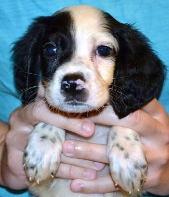 #H18M1 White, Black, & Ticked Male pup. $950.00 with all rights. Please, check out our website for more pics and details.