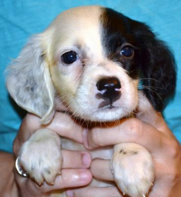 #H18F5 White, Black, & Ticked Female pup. $1050.00 with all rights. Please, check out our website for more pics and details.