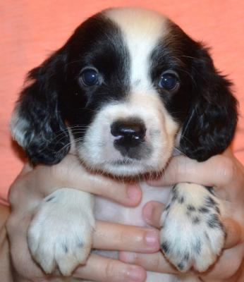 #J18M1 White, Black, & Ticked Male pup. SOLD. Please, check out our website for more pics and details.