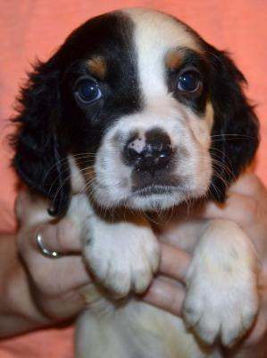 #J18M2 Tri-Color Male pup. SOLD. Please, check out our website for more pics and details.
