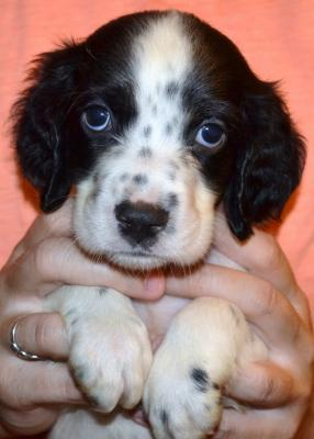 #J18M3 White, Black, & Ticked Male pup. SOLD. Please, check out our website for more pics and details.