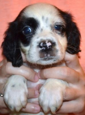 #J18F5 White, Black, & Ticked Female pup. SOLD. Please, check out our website for more pics and details.