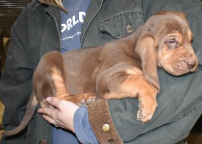 See more of these pups at www.gabloodhound.com or call/text 678-316-2858.