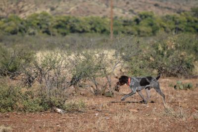 Retrieving a chukar