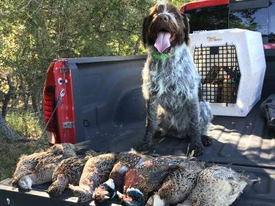 Proud morning full of pheasants