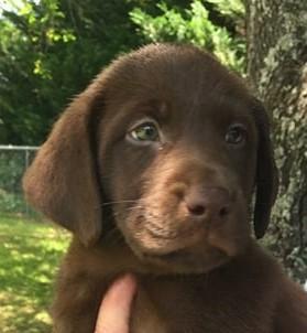 Jernigan's Premier Chocolate Lab Pups