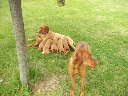 Big Creek Vizsla's