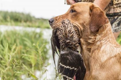 Certainty Labradors