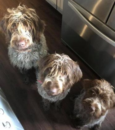 Oak Hills Wirehaired Pointing Griffons
