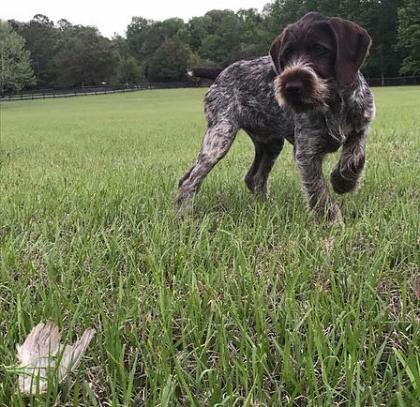 Afterhours Kennels German Wirehaired Pointers