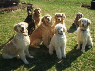 Genuine Goldens