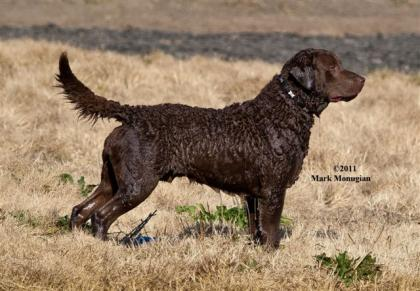 "Spinnaker CBRS  ""AKC GOLD BREEDER OF MERIT"""