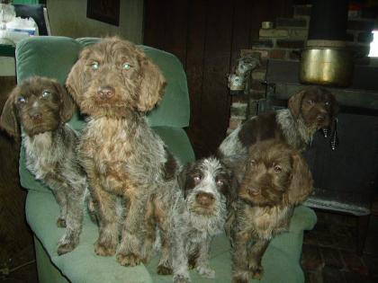 Wirehaired Pointing Griffon male  puppy