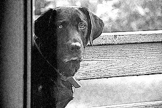 Bazant Labrador Retrievers
