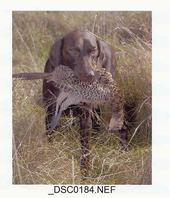 Cady Falls Kennel German Shorthaired Pointers
