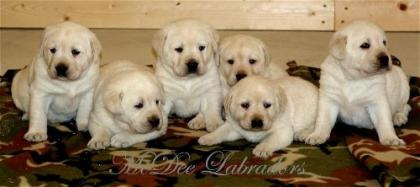 McDee Labrador Retrievers