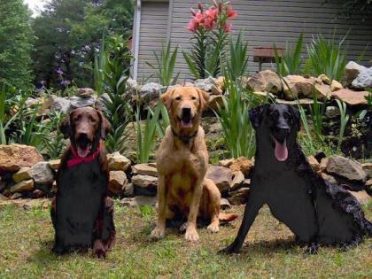 Trinity Labrador Retrievers