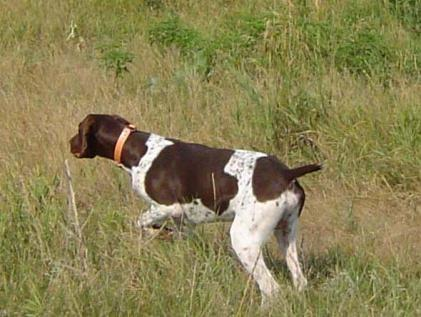 AKC POINTERS OF THE VALLEY