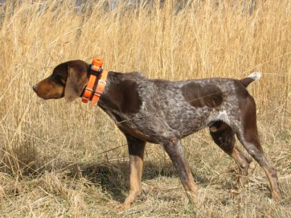 Walnut Ridge Gun Dogs