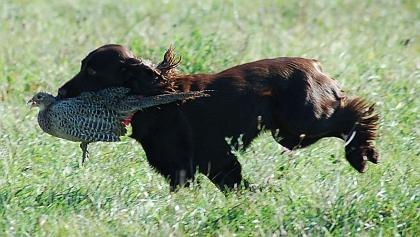 Killara Field Spaniels * Master Hunt Field Spaniel
