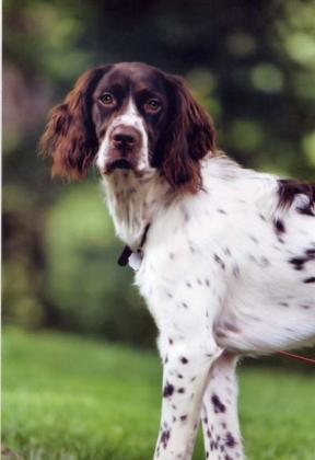 Minnesota French Spaniels